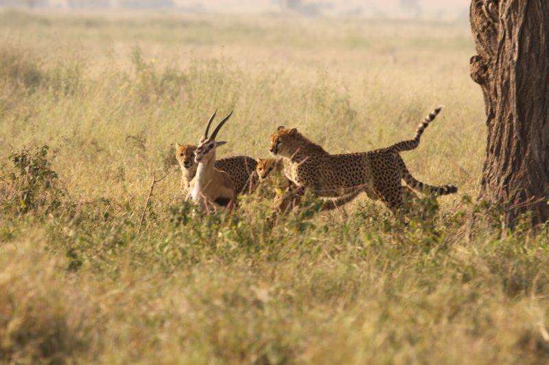 Cheetah hunt.jpg