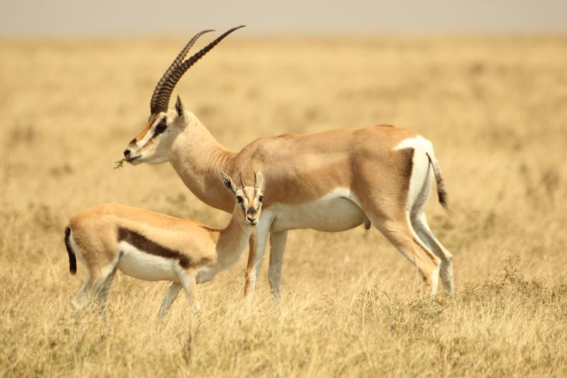 Gazelles.jpg