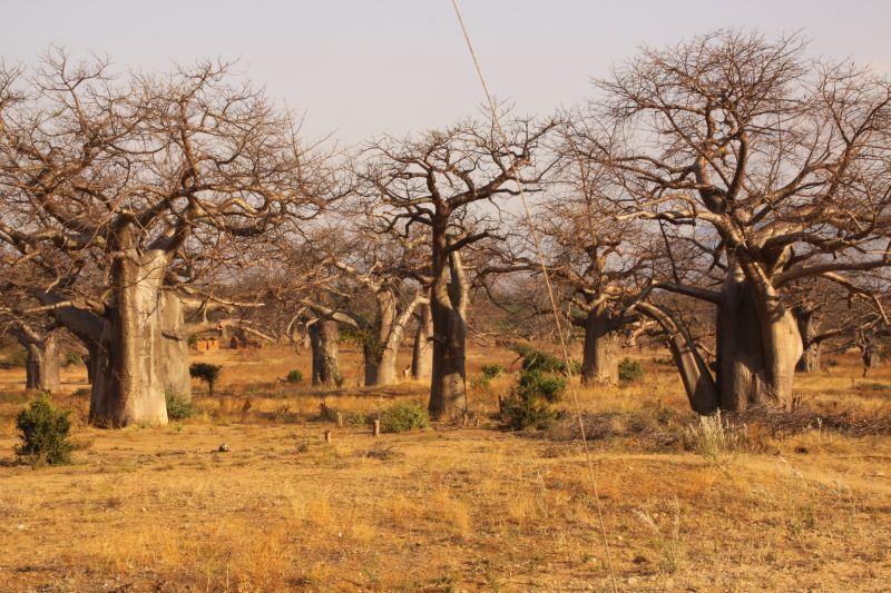 Baobab 6.jpg