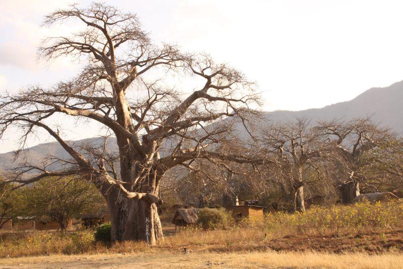 Baobab 4.jpg