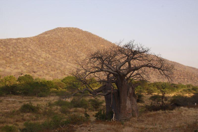 Baobab 3.jpg